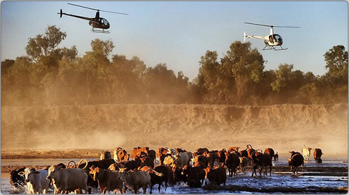 Helicopter Cattle Herding