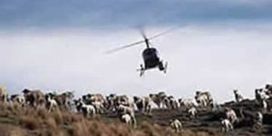 Alpine Aviation Helicopter Sheep Herding